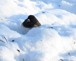 3. junco (Cold Spell at Ginty Creek)