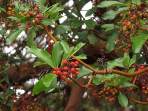 5 arbutus berries (Thanksgiving on Gabriola Island)