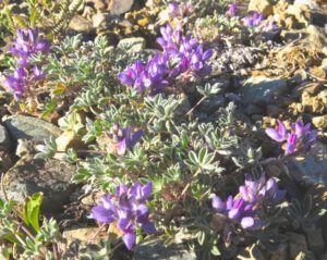 4 lyalls lupin (Perkins Peak Part One)