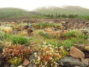 15b mixed flos (Yukon Journey – Kluane National Park)