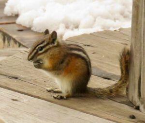 15 chipmunk (April fool)