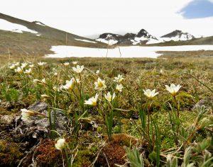 C4 alp lily (Perkins Peak June 25)