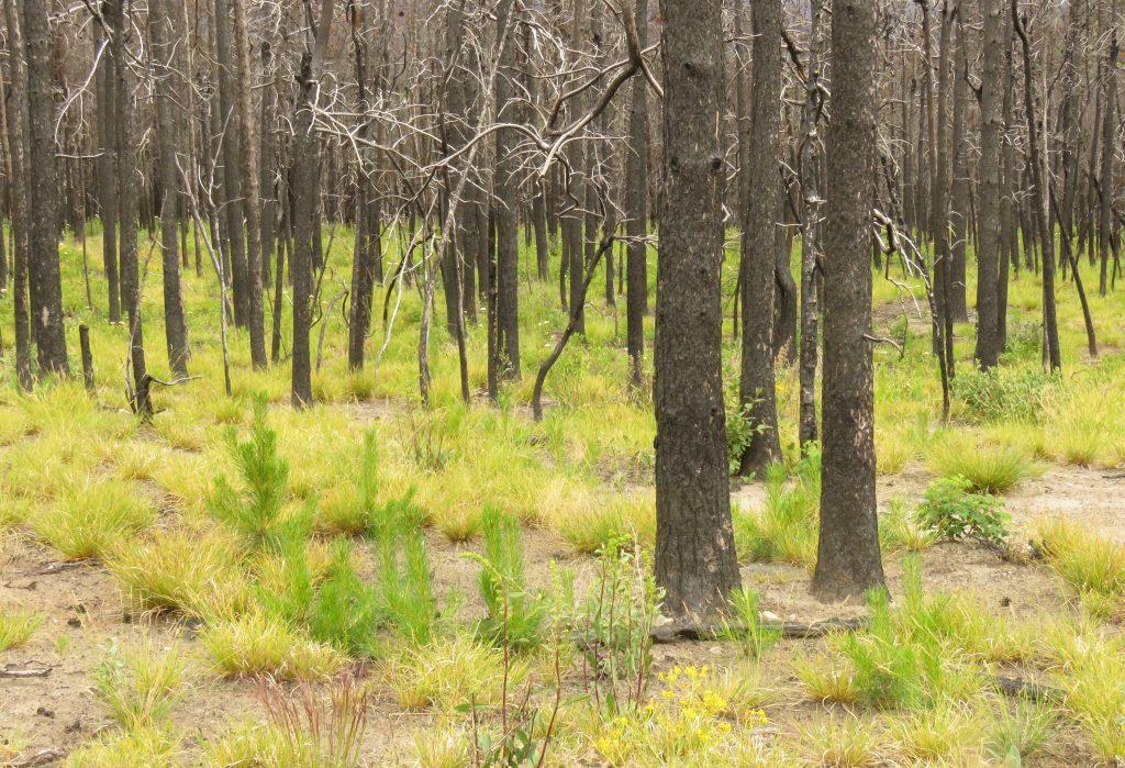 new pine trees