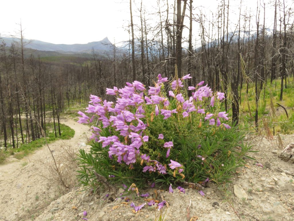 richardson's penstemon