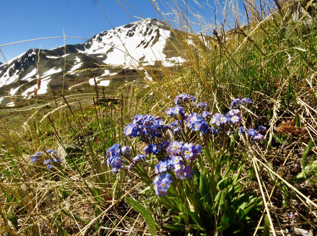 alpine forgetmenot