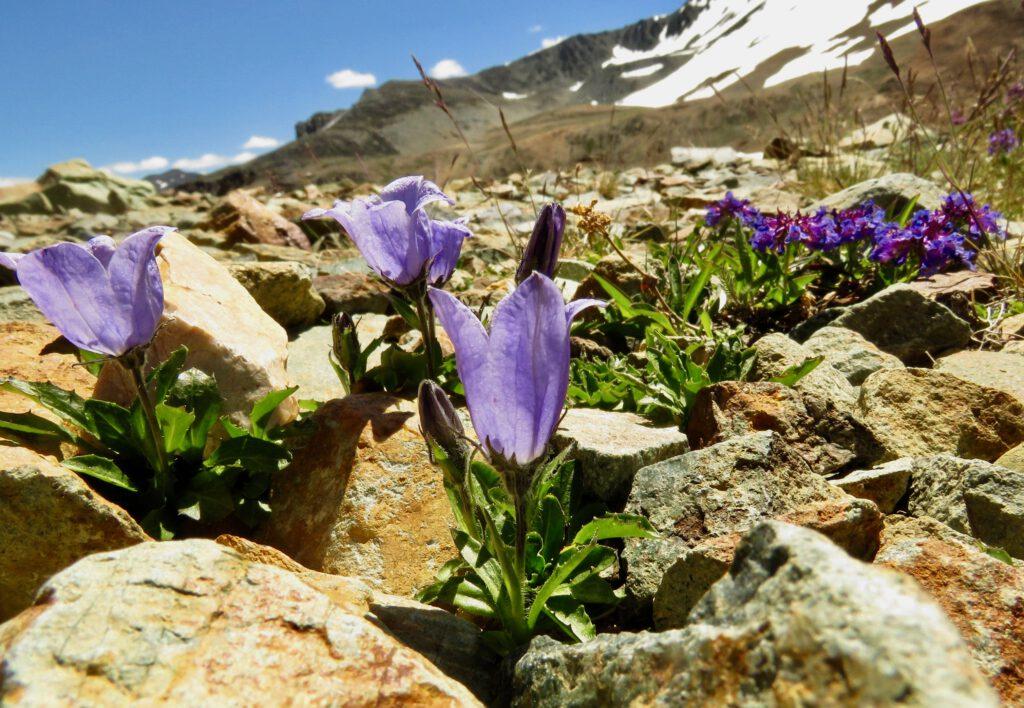 mountain harebell